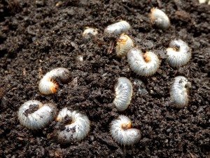 White grubs burrowing into the soil. The larva of a chafer beetle, sometimes known as the May beetle, June bug or June Beetle.
